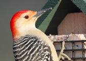 Woodpecker on a Feeder — Stock Photo
