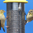 American Goldfinch (Carduelis tristis) — Stock Photo