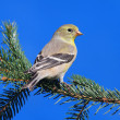 Stock Photo: AmericGoldfinch (Carduelis tristis)