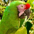 Stock Photo: Green Cockatoo