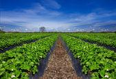 Strawberry field — Stock Photo
