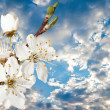 Cherry blossoms against a background of cloudy sky. - Stock Photo