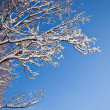 Branch of a tree in the snow — Stock Photo