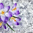 Crocus flowers in ice - Stock Photo
