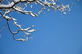Branche d'un arbre dans la neige — Photo