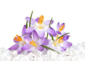 Crocus flowers in ice — Stock Photo