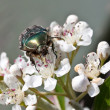Stock Photo: Green beetle on flowering shrubs