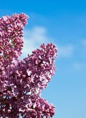 Lilac flowers against the blue sky — Stock Photo