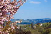 Cherry blossoms against the backdrop of rural landscape — Stock Photo