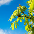 The branch of chestnut — Stock Photo