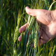 Wheat in the men's hand — Stock Photo
