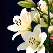 Stock Photo: White lily on black background.