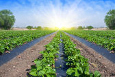 Strawberry field illuminated by the sun. — Stock Photo