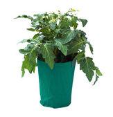 Piantina di pomodoro in un vaso di fiori, isolato su sfondo bianco. — Foto Stock