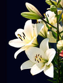 White lily on black background. — Stock Photo