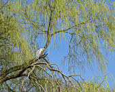 Grey Heron on the branches of a tree. — Stock Photo