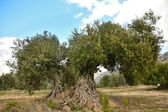 Orchard of olive trees — Stock Photo