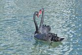 Wild swan — Stock Photo