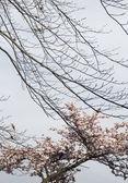Gałęzie drzewa wiśniowe — Zdjęcie stockowe