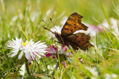 Comma and daisies — Stock Photo