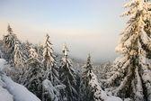 Abetos vermelhos cobertos pela neve — Foto Stock