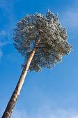Einsamer baum und blauer himmel — Stockfoto