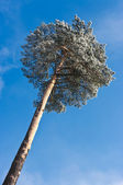 Lonely tree and blue sky — Stock Photo