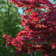Japanese maple tree, Acer palmatum — Stock Photo