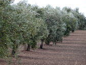 Field of olive trees — Stock Photo