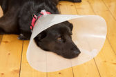 Dog with funnel — Stock Photo