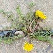 Stock Photo: Dandelion grows through stone