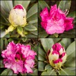 Stock Photo: Different rhododendrons
