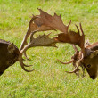 Fallow deers — Stock Photo