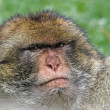 Barbary ape - Stockfoto