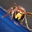 Closeup hornet - Stockfoto