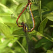 Two dragonflies — Stock Photo #8002594