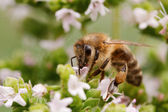Bee on blossom — Stock Photo
