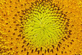 Sunflower closeup — Stock Photo