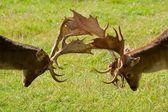 Fallow deers — Stock Photo