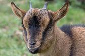 Goat portrait — Stock Photo