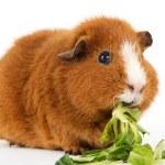 Постер, плакат: Guinea pig with salad