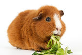 Guinea pig with salad — Stock Photo