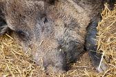 Wild hog with straw — Stock Photo