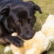Royalty-Free Stock Photo: Dog with stuffed animal