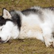 Sleeping dog — Stock Photo #9417031