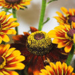 Yellow coneflower - Foto de Stock