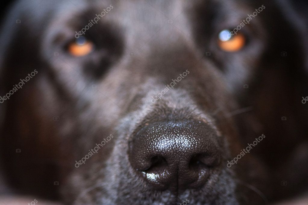 Closeup of a dogs nose with shallow depth of field  Stock Photo #9508289