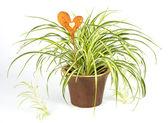 Spin plant met decoratie hart — Stockfoto
