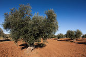 Olive countryside, Toledo, Castilla la Mancha, Spain — Stock Photo
