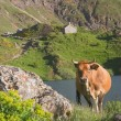 Cow in the natural park of Somiedo, Asturias, Spain — Stock Photo